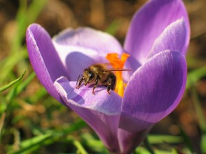Bee_crocus_macro_4